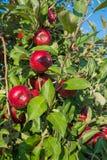 Czerwoni jabłka na drzewie fotografia stock