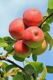 Czerwoni jabłka na drzewie Zdjęcie Royalty Free