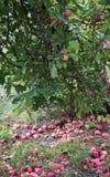 Czerwoni jabłka na drzewie i jabłka na trawie fotografia royalty free