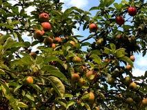 Czerwoni jabłka na drzewie w miasto parku obraz stock