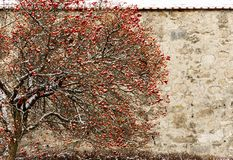 Czerwoni jabłka na gałąź fotografia stock