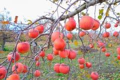 Czerwoni jabłka na jabłoni gałąź Obraz Stock