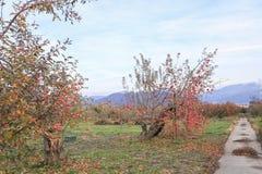 Czerwoni jabłka na jabłoni rozgałęziają się w authumn lub sezonie jesiennym Obrazy Stock