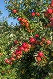 Czerwoni jabłka w drzewie w sadzie fotografia royalty free