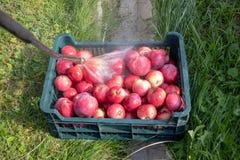 Czerwoni jabłka w kosz myjącym outdor zdjęcia stock