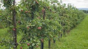 Czerwoni jabłka zdjęcia royalty free