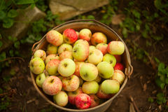 Czerwoni jabłka na stole Obraz Royalty Free