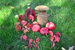 Czerwoni jabłka na zieleni grassred Zdjęcie Royalty Free