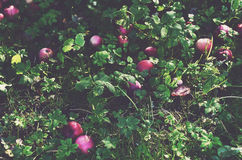 Czerwoni jabłka na zielonej trawie Zdjęcia Royalty Free