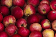 Czerwoni jabłka po deszczu Zdjęcia Royalty Free