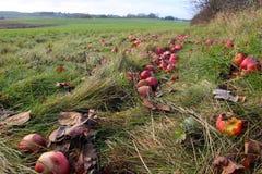 Czerwoni jabłka spadali Zdjęcie Royalty Free