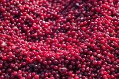 Czerwoni jagod cranberries Zdjęcie Stock