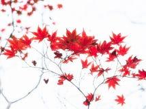 Czerwoni Japońscy klonowego drzewa liście iluminujący światłem słonecznym na białym tle Zdjęcia Stock