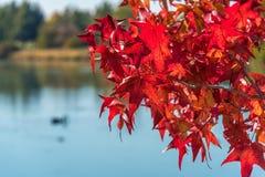 Czerwoni Japońscy liście klonowi przeciw błękitne wody na tle Fotografia Stock