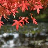 czerwoni jaskrawy jesień liść Zdjęcia Royalty Free