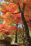 czerwoni jesień liść Obraz Royalty Free