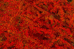Czerwoni jesień liście berberysowi Zdjęcie Royalty Free