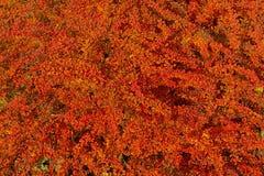 Czerwoni jesień liście berberysowi Zdjęcia Royalty Free