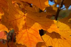 Czerwoni jesień liście klonowy Zdjęcie Stock