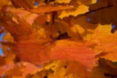 Czerwoni jesień liście klonowy Fotografia Royalty Free