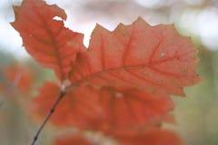 Czerwoni jesień liście na dębie obraz stock