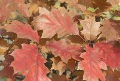 Czerwoni jesień liście na drzewie fotografia royalty free