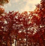 Czerwoni jesieni drzewa Obrazy Royalty Free