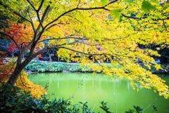 Czerwoni klonowi drzewa w japończyka ogródzie Obraz Royalty Free