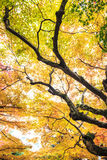 Czerwoni klonowi drzewa w japończyka ogródzie Zdjęcie Royalty Free