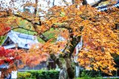 Czerwoni klonowi drzewa w japończyka ogródzie Fotografia Royalty Free