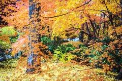 Czerwoni klonowi drzewa w japończyka ogródzie Fotografia Stock