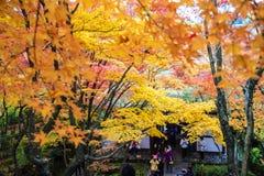 Czerwoni klonowi drzewa w japończyka ogródzie Zdjęcia Royalty Free