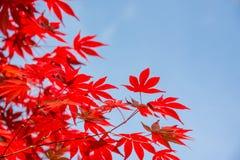 Czerwoni kolorowi jesienni liście klonowi, niebieskiego nieba tło z kopii przestrzenią, jesieni pojęcie Obraz Royalty Free