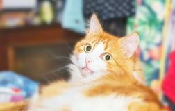 Czerwoni kotów gapienia Fotografia Royalty Free