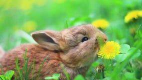 Czerwoni króliki jedzą dandelions w trawie zbiory