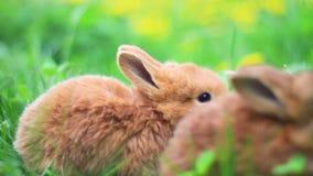 Czerwoni króliki jedzą trawy w gąszczach dandelions zdjęcie wideo
