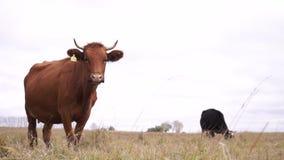 Czerwoni krów spojrzenia w kamerę zawodnik bez szans zbiory wideo