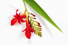 Czerwoni krokusów okwitnięcia, liść i Obrazy Stock