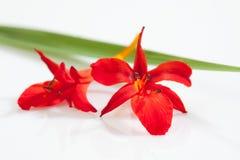 Czerwoni krokusów okwitnięcia, liść i Fotografia Stock