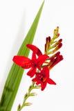 Czerwoni krokusów okwitnięcia, liść i Fotografia Royalty Free
