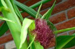 Czerwoni Kukurydzani jedwabie Biżuteryjna kukurudza - zea Maj - fotografia stock