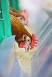 Czerwoni kurczaki zdjęcia royalty free