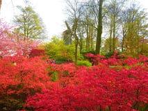 Czerwoni kwiatów krzaki przed holenderskim wiatraczkiem w Keukenhof Fotografia Stock