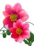 czerwoni kwiatów płatki Obraz Stock