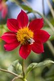czerwoni kwiatów płatki Obraz Royalty Free