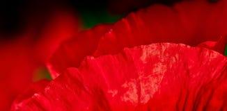 czerwoni kwiatów płatki Zdjęcie Stock