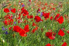 Czerwoni kwiaty Fotografia Royalty Free