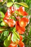 Czerwoni kwiaty Japońska pigwa zaświecająca z słońca dobrem Obrazy Stock