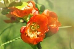 Czerwoni kwiaty Japońska pigwa zaświecająca z słońca dobrem Fotografia Stock