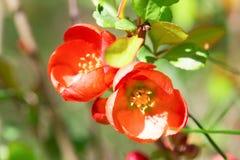 Czerwoni kwiaty Japońska pigwa Fotografia Royalty Free